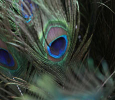 Speckled Peacock